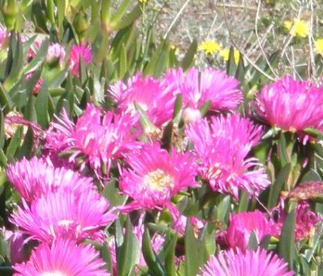 fleurs de cadaqus