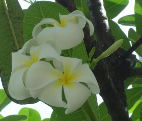 fleurfrangipan